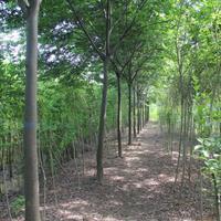 榉树 桐乡榉树 榉树基地 榉树供应 榉树价格