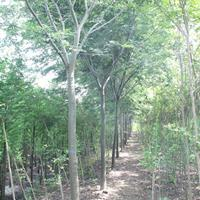 榉树  10-15公分榉树 榉树基地 自产自销的榉树