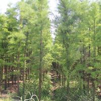 池杉 5-8公分池杉 池杉基地 池杉价格 桐乡池杉