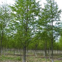 水杉 石门水杉 水杉自产自销 水杉基地 水杉苗圃