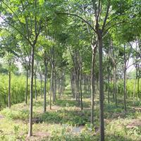 嘉兴黄山栾树 自种自销的黄山栾树 7-10公分黄山栾树
