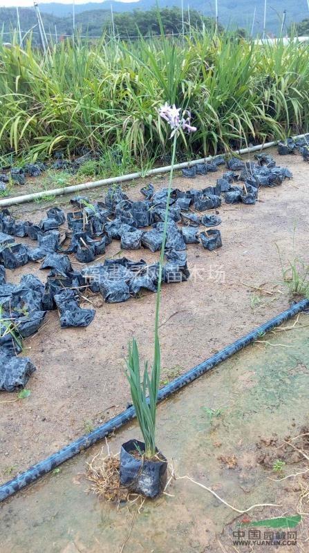 非洲小百合紫娇花低价销售