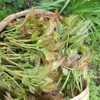 安徽阜阳地区出售8~15公分香椿树