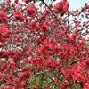 樱花价格30元 米径4公分 樱花价格表 樱花报价 禄兴园林