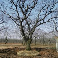 供应板栗,板栗树,栗子树,栗树基地