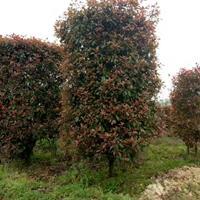 红叶石楠树,红叶石楠柱子,红叶石楠球,红叶石楠苗