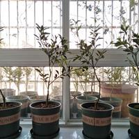 长沙窗台阳台绿化之脆皮金桔定制价格