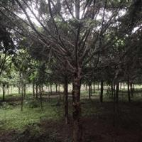 曼地亚红豆杉、四川红豆杉、南方红豆杉