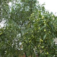 供应枣树 枣树哪里买 哪里便宜?