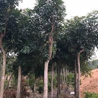 漳州市桃花心木供应