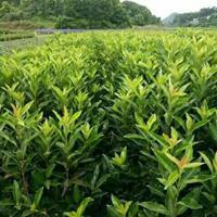 法國冬青高30至3米,冬青,珊瑚樹,綠籬,日本冬青