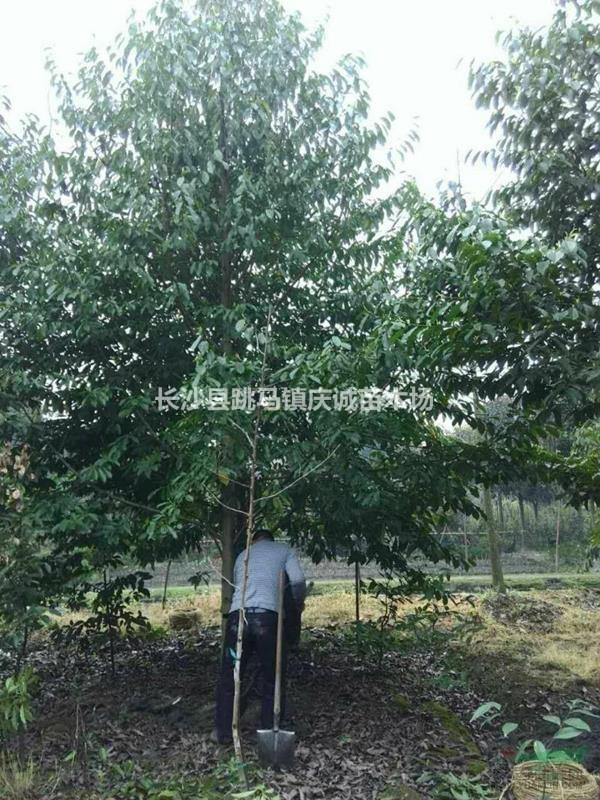 2至30公分樂昌含笑,景葉白蘭,含笑樹