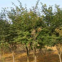 雞爪槭價格1100元 雞爪槭價格表/報價 地徑12公分 圖片