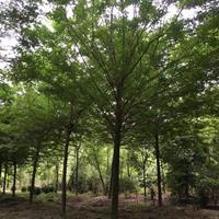 四川皂荚价格_成都皂荚报价_优质皂荚供应_四川皂角树