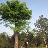江苏梦福园林供应皂角树 皂角 皂角小苗 大皂角树