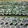 杭州萧山大量供应,盆载荷花,和盆栽睡莲