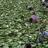 萧山传武苗圃常年基地直销各种优质睡莲,品种较多,价格优惠,