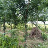 供应皂角,皂角树,皂角小苗,大皂角树