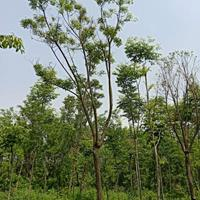 供应5-20公分重阳木