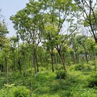 重阳木,新重阳木报价,直销3-20公分重阳木,重阳木基地