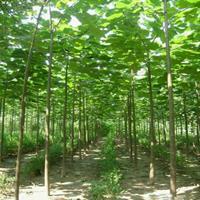 大量供应泡桐树