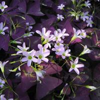 大量供应紫叶酢浆草