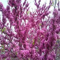 大量供應巨紫荊