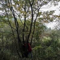 江西丛生朴树基地