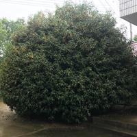浙江省长兴县卫华农林开发有限公司大量供应桂花 3米一8米