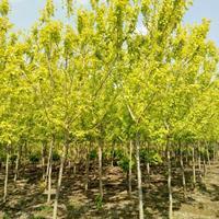 金叶复叶槭5---6---7---8---10