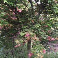 供应精品鸡爪槭红枫海棠桂花樱花6--25公分规格齐全