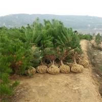 苗圃直销 油松 规格齐全 工程绿化苗 实地看货