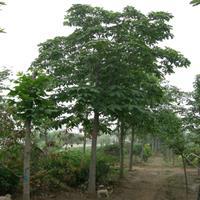 低价出售庭院行道绿化树苗 红花七叶树 规格齐全