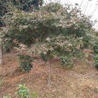 供应:红枫,日本红枫,鸡爪槭,羽毛枫,美国红枫