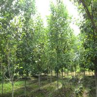 优质北美鹅掌楸专业种植 景观绿化 实地绿化 质优价廉