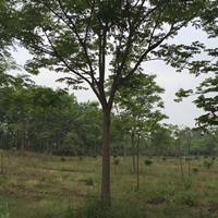 山东栾树18公分栾树价格