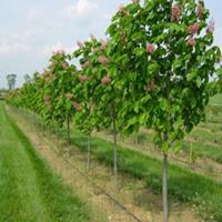 七叶树树苗基地批发优质行道风景树红花七叶树 工程绿化苗木