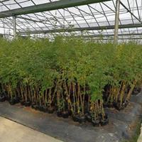 供应耐湿热白桦,热恋白桦组培苗