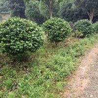 湖南长沙地区,大量共应茶花150一l20公分