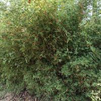 湖南长沙地区,大量共应凤尾竹