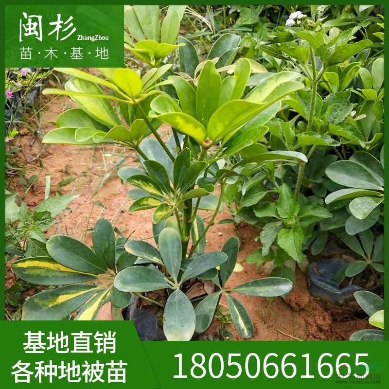 漳浦县闽杉苗木场