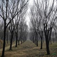 大小规格板栗树2基地