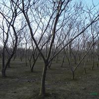 江苏板栗树4介绍/特征/用途