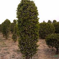 大叶黄杨柱图片/大叶黄杨柱报价 造型黄杨