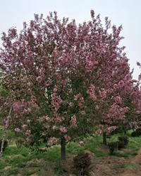 供应2-14厘米海棠 绚丽海棠上市了,绚丽海棠图片,绚丽海棠