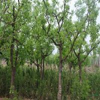 优质特价枣树产地直销