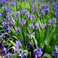 大小规格紫花鸢尾基地