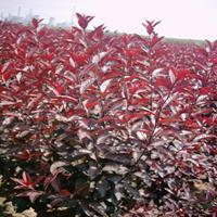 大小规格美国紫叶矮樱基地