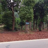 湖南长沙香樟树批发/供应