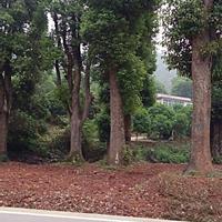 湖南供应再生樟树 大香樟规格齐全